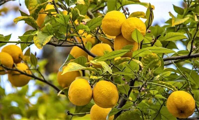 лимоны на ветках