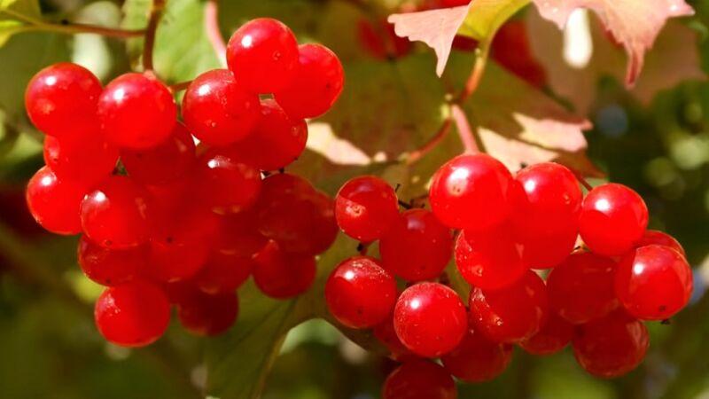 калина - ягоды