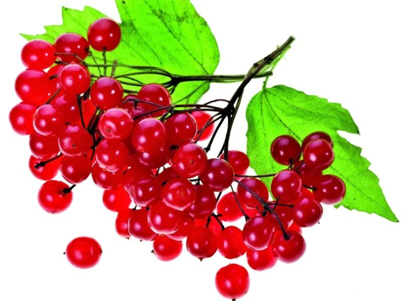 веточка калины с ягодами