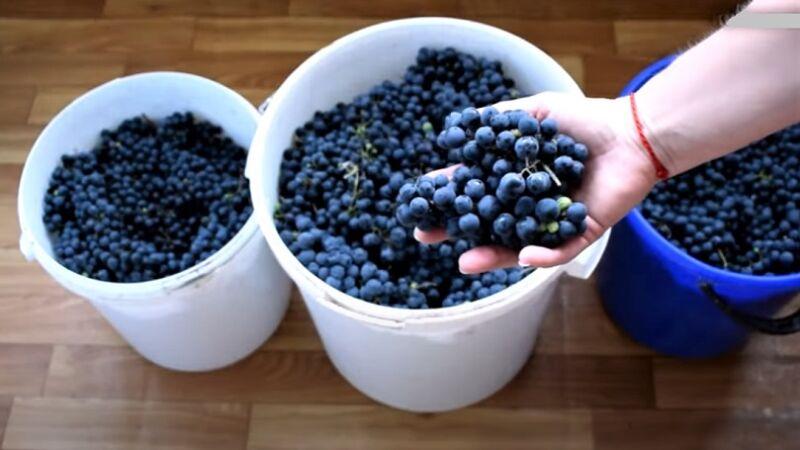 виноград в ведрах